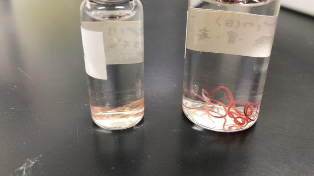ライギョ カムルチー 寄生虫 線虫 内臓 胃